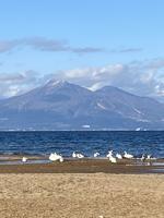 青松浜の白鳥