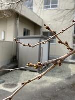 昇降口前の桜